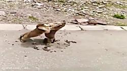 نبرد حیوانات خنده دار