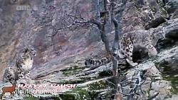 حمله پلنگ برفی
