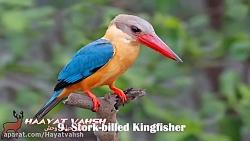 ده پرنده زیبای جهان  به روایت یک کلیپ زیبا