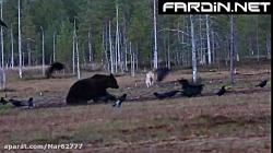 حمله 2 گرگ به خرس گریزلی و دزدیدن شکار