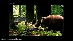 جنگ و جدال وحشیانه گرگ و خرس گریزلی