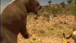 نبرد شیر و خرس ماقبل تاریخی (شبیه سازی)