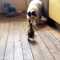 ترس و فرار کردن گربه از جوجه ها
