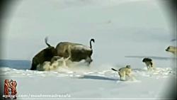 کلیپ شکار و شکارچی