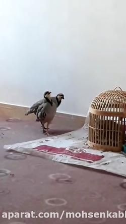 بربر کبک محسن