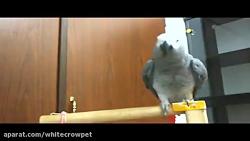 من یه پرنده ام -کلاغ سفی...