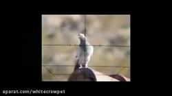 تیراندازی به پرنده کلا...