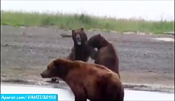 جنگ و جدال وحشتناک دیدنی بین خرس های گریزلی