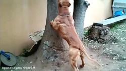 سگ که سگ نیست