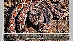 picture of king snake in az