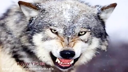 سایه گرگ های پلاک قرمز بر سر روستاییان