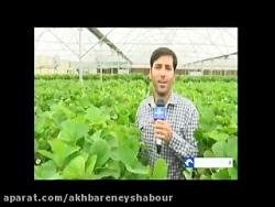 راه اندازی گلخانه کشت توت فرنگی در نیشابور