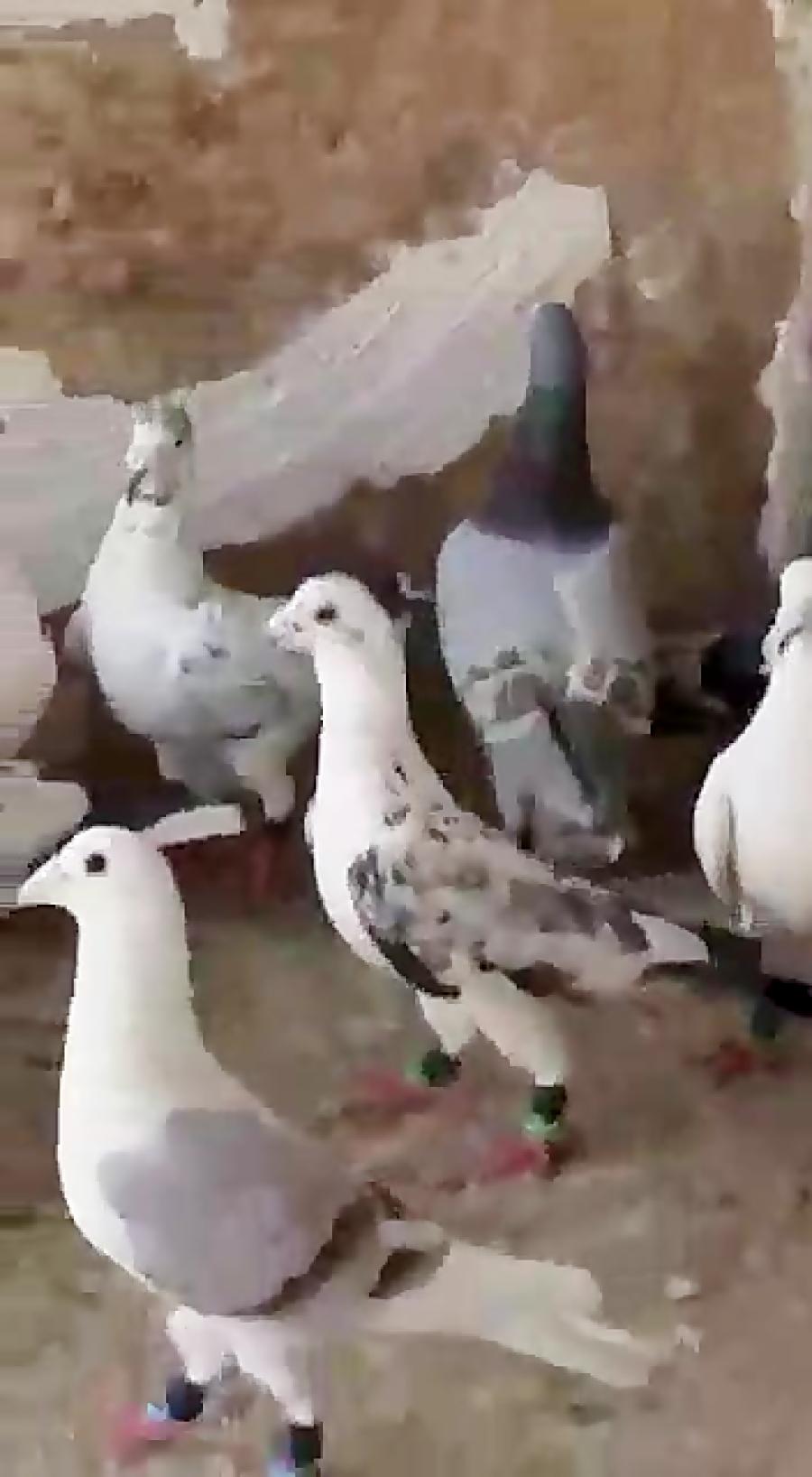 کبوتر های پلاکی