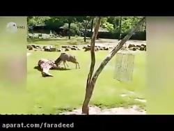 حمله مرگبار گوزن به زرافه