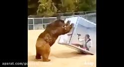 حمله خرس به محفظه شیشه ...