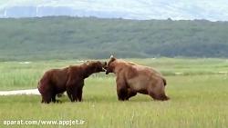 نبرد دیدنی خرس های گریزلی