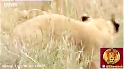 شکار حرفه ای پلنگ(مستند...