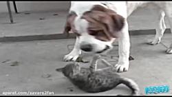 درگیری عجیب و جسورانه گربه های شجاع با سگ های ترسو