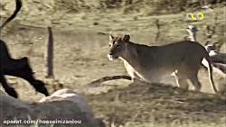 نبرد شیر و بوفالو بسیار جالب