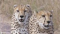 سه چیتا جلاد در پی شکار زوج شترمرغ/ چه کسی سریع تر است؟