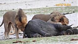 شکار بچه فیل توسط شیرهای گرسنه