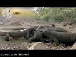 مرگ تدریجی بوفالو در اثر گزش اژدهای کومودو