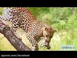 شکار وحشیانه بچه میمون توسط پلنگ