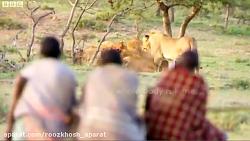 شجاعت 3 شکارچی سیاه پوست قبایل بدوی در مواجهه با شیرها