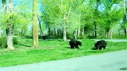 قاطی كردن خرس سیاه