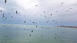 مرغ دریایی بوشهر 2