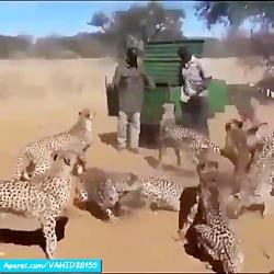 غذا دادن به یوزپلنگ های خطرناک