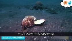شکار عجیب صدف توسط هشت پا اختاپوس در دریا