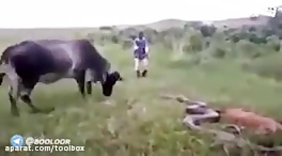 حمله گاو به ماری که بچشو نیش زده