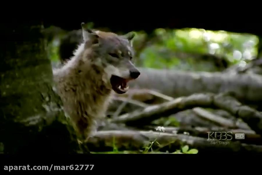 قلدری خرس در مقابل گله گرگ ها
