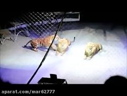 حمله ببر سیبری به شیر در باغ وحش