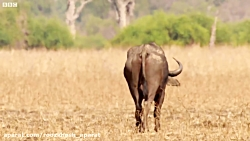 نبرد حماسی گاو وحشی با ۳ شیر