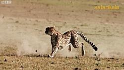 سرعت یوز پلنگ در شکار گ...