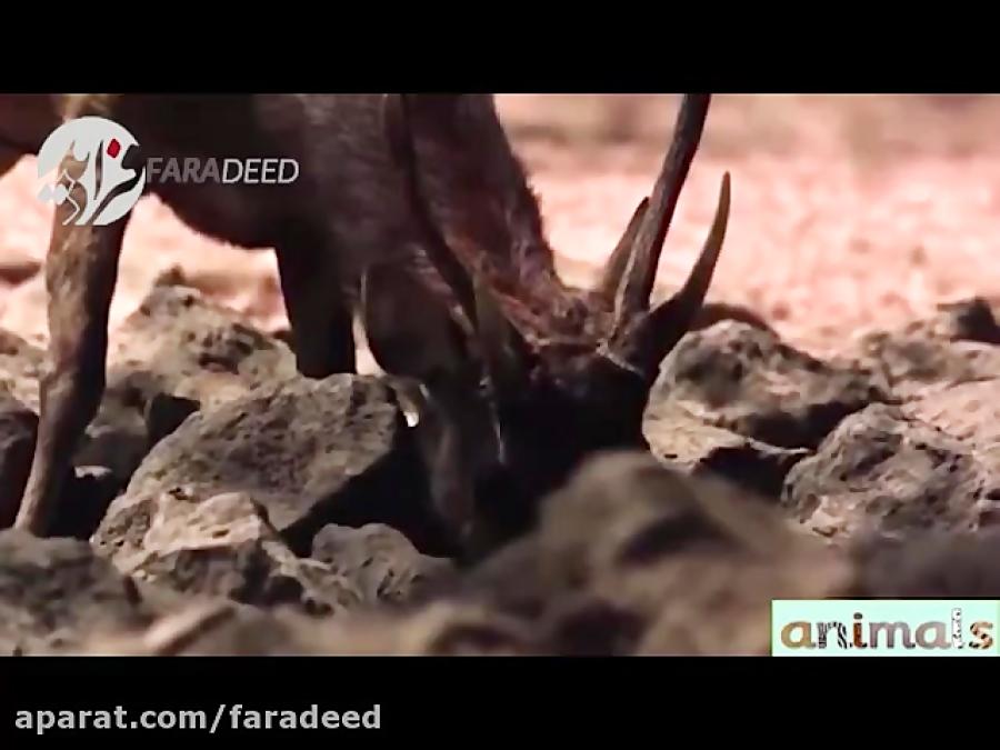 شکار بی رحمانه آهو توسط اژدهای کومودو