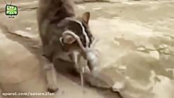 درگیری باورنکردنی گربه های شجاع با حیوانات مرگبار