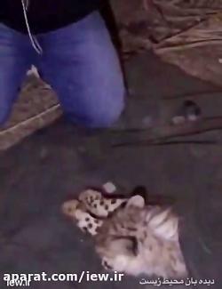 انتقال یوزپلنگ كشف شده از قاچاقچیان در تهران به جایگاه