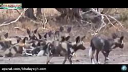 لحظه های حمله حیوانات خ...