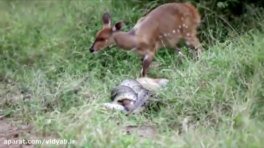شکار بچه آهو توسط مار و تلاش مادر برای نجات