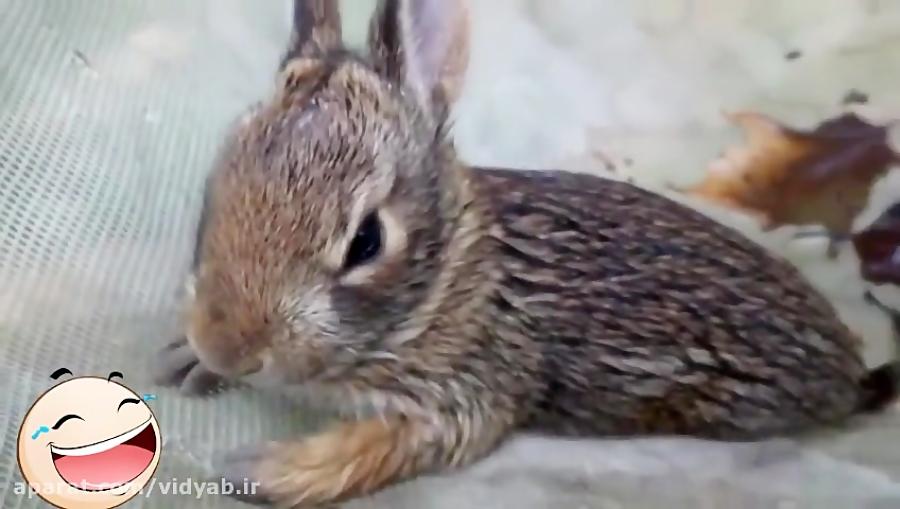 شکار بچه خرگوش توسط مار و مبارزه شجاعانه مادر