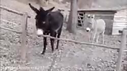 حرکتی خردمندانه از یک الاغ