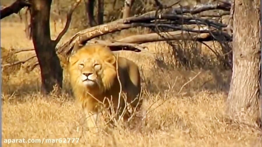 کشتن یوزپلنگ توسط شیر نر