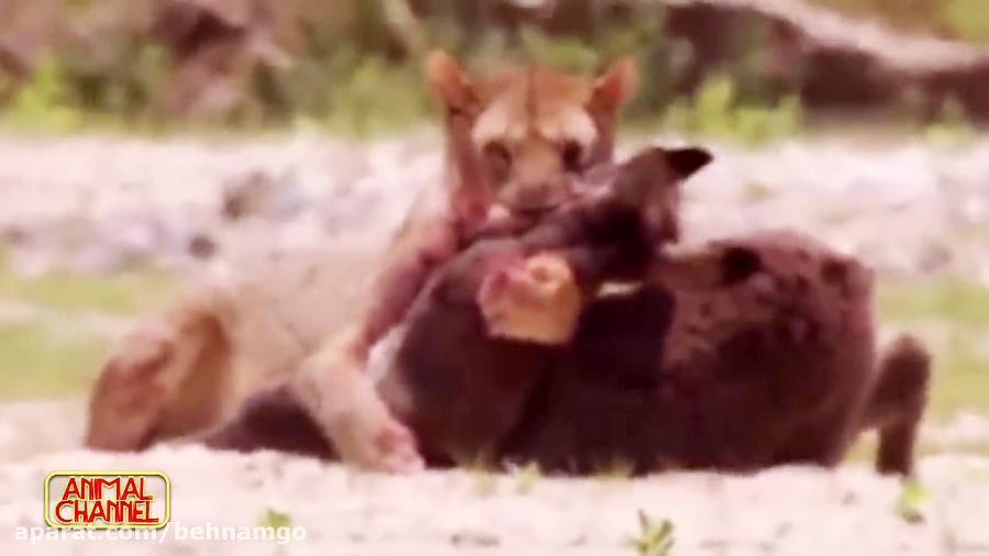 شگفت انگیز ترین صحنه های شکار حیوانات در حیات وحش