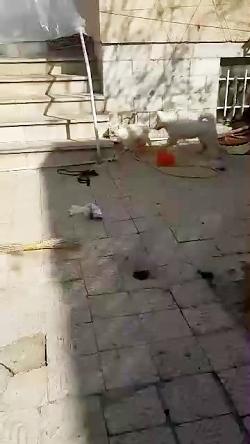 سگ هاسکی سیبرین اصیل چشم یخی ۴ماه ومالاموتهگ های۲ماهه