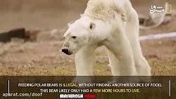 آخرین لحظه های یک خرس قطبی