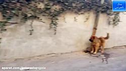 ازار و اذیت سگ توسط مار پیتون ( جالب و دیدنی )