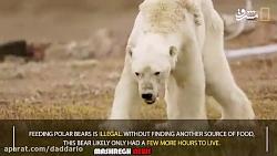 آخرین لحظه های عمر یک خرس قطبی
